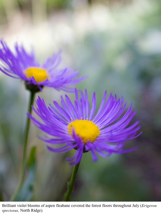 Brilliant violet blooms of aspen fleabane covered the forest floors throughout July (Erigeron speciosus, North Ridge).