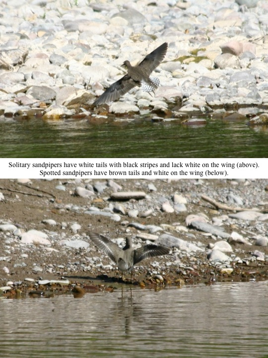 Solitary sandpipers have white tails with black stripes and lack white on the wing (above). Spotted sandpipers have brown tails and white on the wing (below).