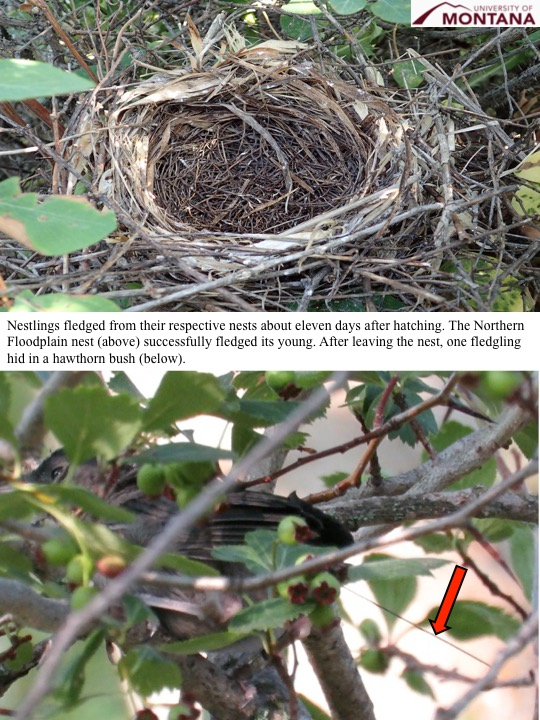Nestlings fledged from their respective nests about eleven days after hatching. The Northern Floodplain nest (above) successfully fledged its young. After leaving the nest, one fledgling hid in a hawthorn bush (below).