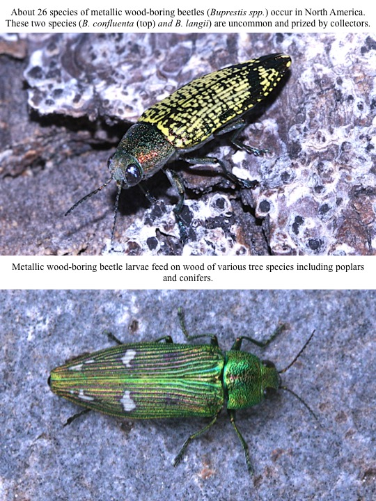 About 26 species of metallic wood-boring beetles (Buprestis spp.) occur in North America. These two species (B. confluenta (top) and B. langii) are uncommon and prized by collectors.