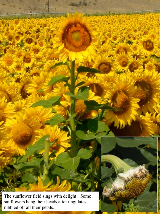 The sunflower field sings with delight! Some sunflowers hang their heads after ungulates nibbled off all their petals.