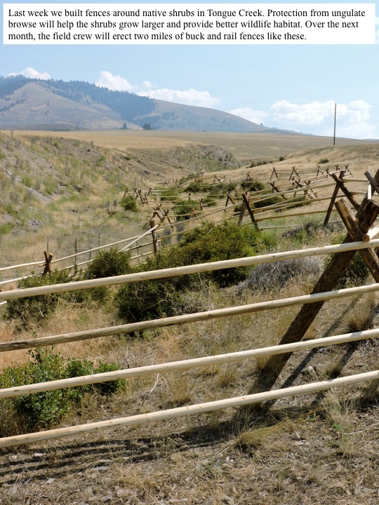 Last week we built fences around native shrubs in Tongue Creek. Protection from ungulate browse will help the shrubs grow larger and provide better wildlife habitat. Over the next month, the field crew will erect two miles of buck and rail fences like these