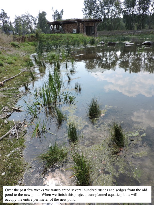 Over the past few weeks we transplanted several hundred rushes and sedges from the old pond to the new pond. When we finish this project, transplanted aquatic plants will occupy the entire perimeter of the new pond.