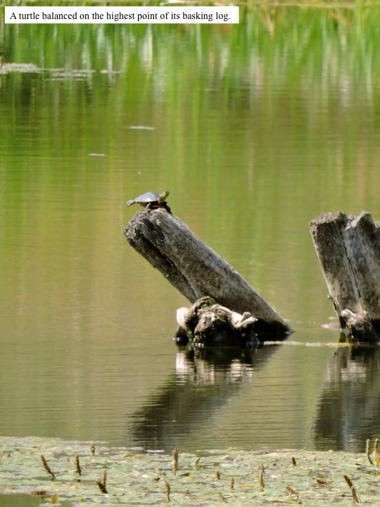 A turtle balanced on the highest point of its basking log.