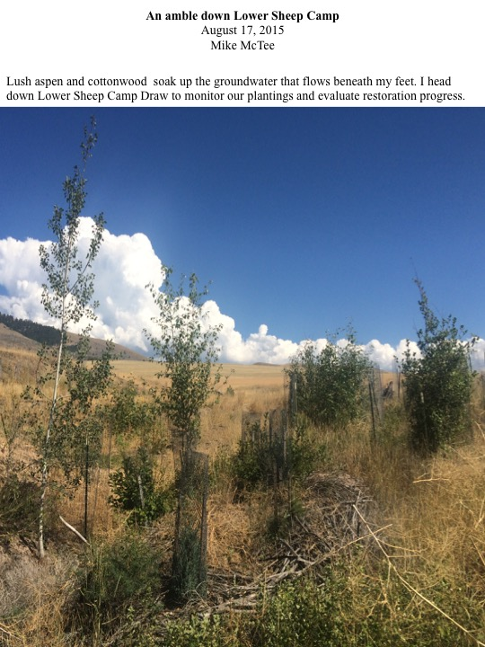 Lush aspen and cottonwood soak up the groundwater that flows beneath my feet. I head down Lower Sheep Camp Draw to monitor our plantings and evaluate restoration progress.