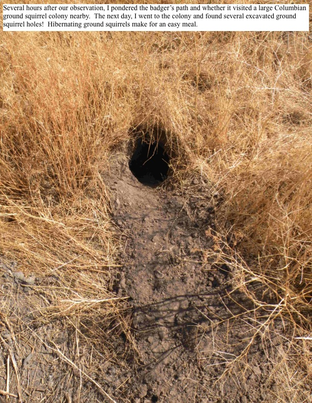 Several hours after our observation, I pondered the badger's path and whether it visited a large Columbian ground squirrel colony nearby. The next day, I went to the colony and found several excavated ground squirrel holes! Hibernating ground squirrels make for an easy meal.