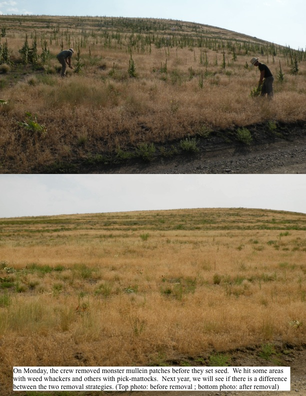 On Monday, the crew removed monster mullein patches before they set seed. We hit some areas with weed whackers and others with pick-mattocks. Next year, we will see if there is a difference between the two removal strategies. (Top photo: before removal ; bottom photo: after removal)