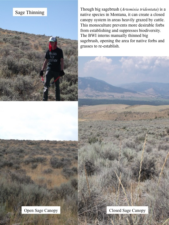 Though big sagebrush (Artemisia tridentata) is a native species in Montana, it can create a closed canopy system in areas heavily grazed by cattle.