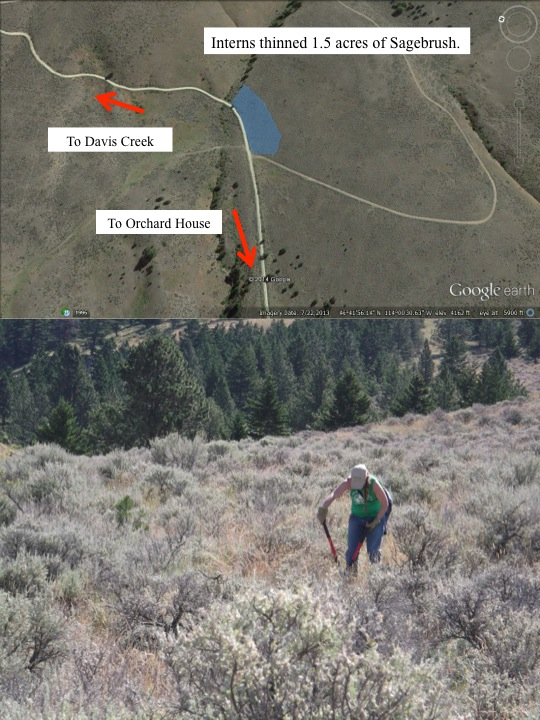 Interns thinned 1.5 acres of Sagebrush.