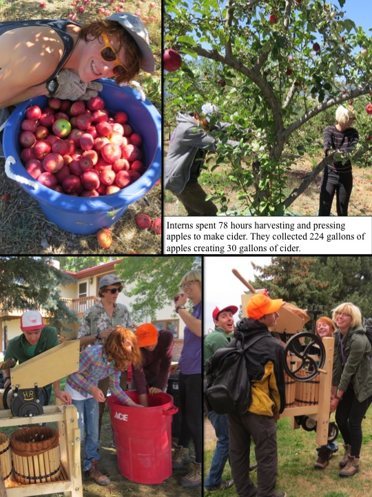 Interns spent 78 hours harvesting and pressing apples to make cider. They collected 224 gallons of apples creating 30 gallons of cider.