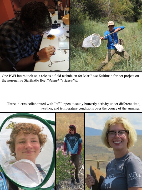 Three interns collaborated with Jeff Pippen to study butterfly activity under different time, weather, and temperature conditions over the course of the summer. One BWI intern took on a role as a field technician for MariRose Kuhlman for her project on the non-native Starthistle Bee (Megachile Apicalis).