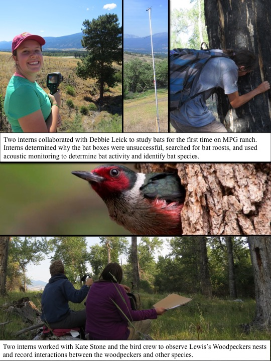 Two interns worked with Kate Stone and the bird crew to observe Lewis's Woodpeckers nests and record interactions between the woodpeckers and other species. Two interns collaborated with Debbie Leick to study bats for the first time on MPG ranch. Interns determined why the bat boxes were unsuccessful, searched for bat roosts, and used acoustic monitoring to determine bat activity and identify bat species.