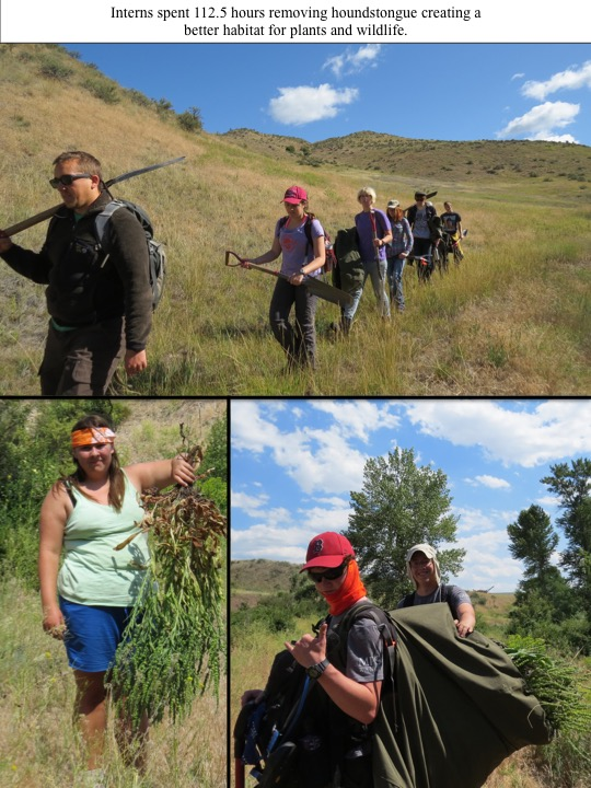 Interns spent 112.5 hours removing houndstongue creating a better habitat for plants and wildlife.