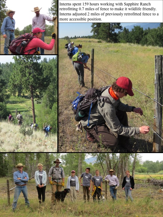 Interns spent 159 hours working with Sapphire Ranch retrofitting 0.7 miles of fence to make it wildlife friendly. Interns adjusted 2 miles of previously retrofitted fence to a more accessible position.