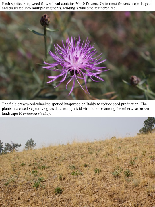 The field crew weed-whacked spotted knapweed on Baldy to reduce seed production. The plants increased vegetative growth, creating vivid viridian orbs among the otherwise brown landscape (Centaurea stoebe).