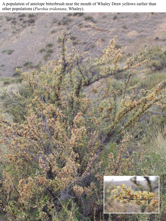 A population of antelope bitterbrush near the mouth of Whaley Draw yellows earlier than other populations (Purshia tridentata, Whaley).