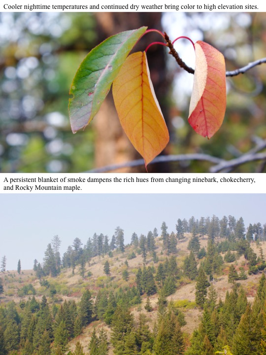 A persistent blanket of smoke dampens the rich hues from changing ninebark, chokecherry, and Rocky Mountain maple.