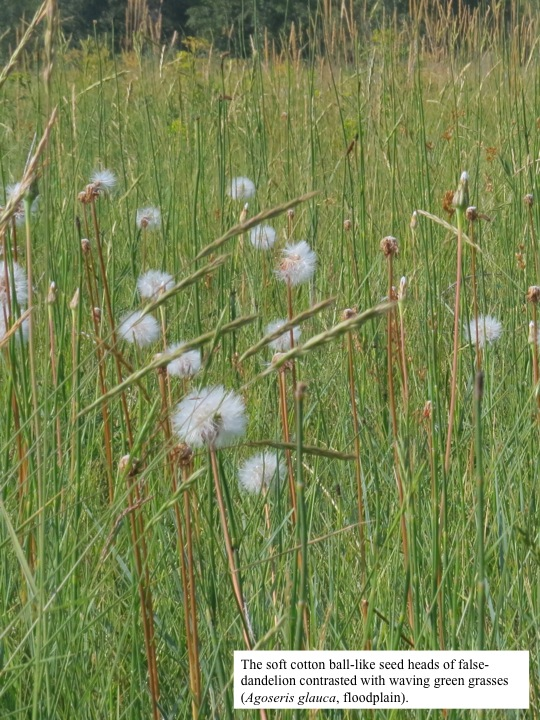 The soft cotton ball-like seed heads of falsedandelion contrasted with waving green grasses (Agoseris glauca, floodplain).