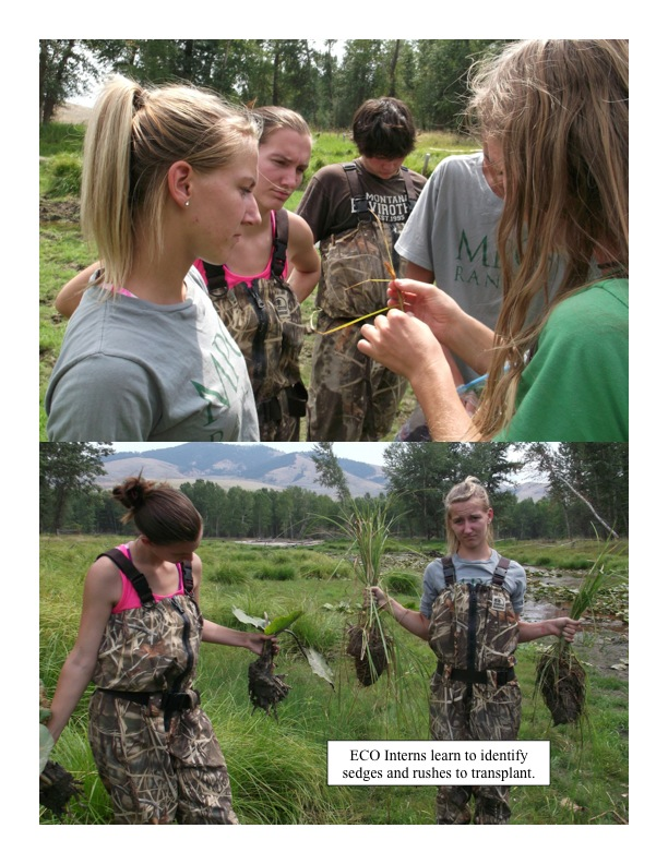 ECO Interns learn to identify sedges and rushes to transplant.