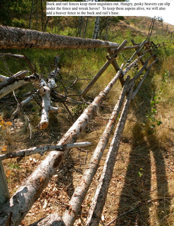 Buck and rail fences keep most ungulates out. Hungry, pesky beavers can slip under the fence and wreak havoc! To keep these aspens alive, we will also add a beaver fence to the buck and rail's base.