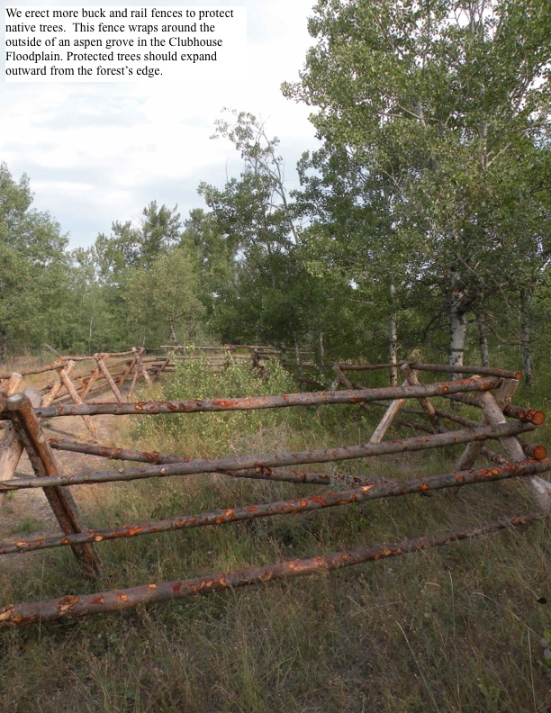 We erect more buck and rail fences to protect native trees. This fence wraps around the outside of an aspen grove in the Clubhouse Floodplain. Protected trees should expand outward from the forest's edge.