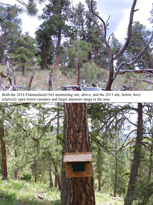 Both the 2014 Flammulated Owl monitoring site, above, and the 2013 site, below, have relatively open forest canopies and larger diameter snags in the area.