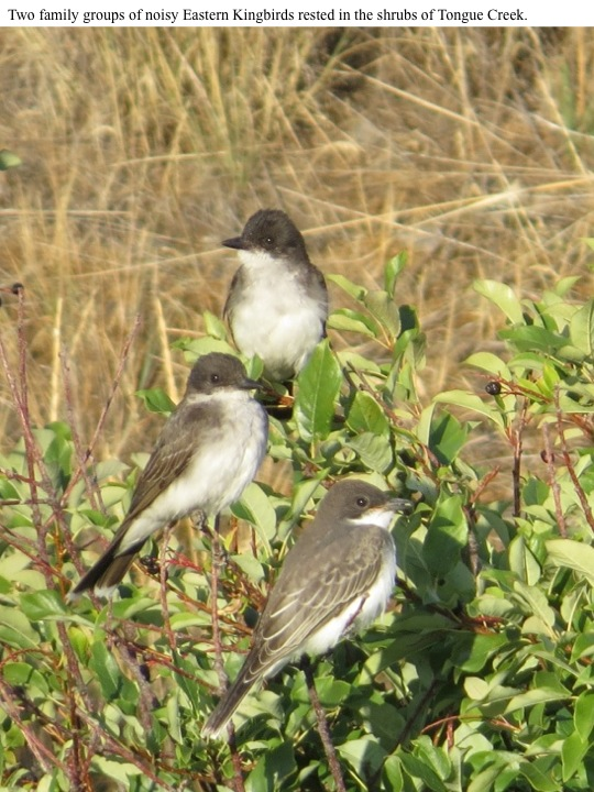 Two family groups of noisy Eastern Kingbirds rested in the shrubs of Tongue Creek.