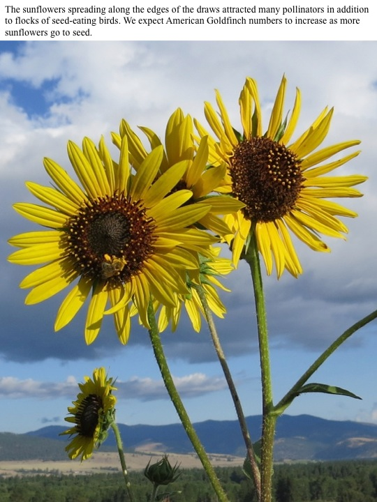 The sunflowers spreading along the edges of the draws attracted many pollinators in addition to flocks of seed-eating birds. We expect American Goldfinch numbers to increase as more sunflowers go to seed.