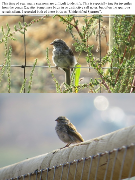 "590 This time of year, many sparrows are difficult to identify. This is especially true for juveniles from the genus Spizella. Sometimes birds issue distinctive call notes, but often the sparrows remain silent. I recorded both of these birds as ""Unidentified Sparrow""."