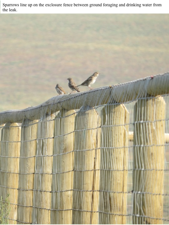Sparrows line up on the exclosure fence between ground foraging and drinking water from the leak.