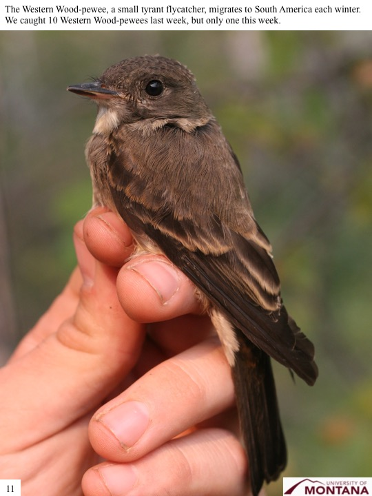 The Western Wood-pewee, a small tyrant flycatcher, migrates to South America each winter. We caught 10 Western Wood-pewees last week, but only one this week.
