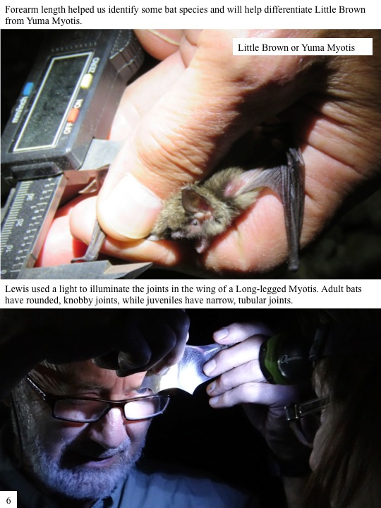 Lewis used a light to illuminate the joints in the wing of a Long-legged Myotis. Adult bats have rounded, knobby joints, while juveniles have narrow, tubular joints.