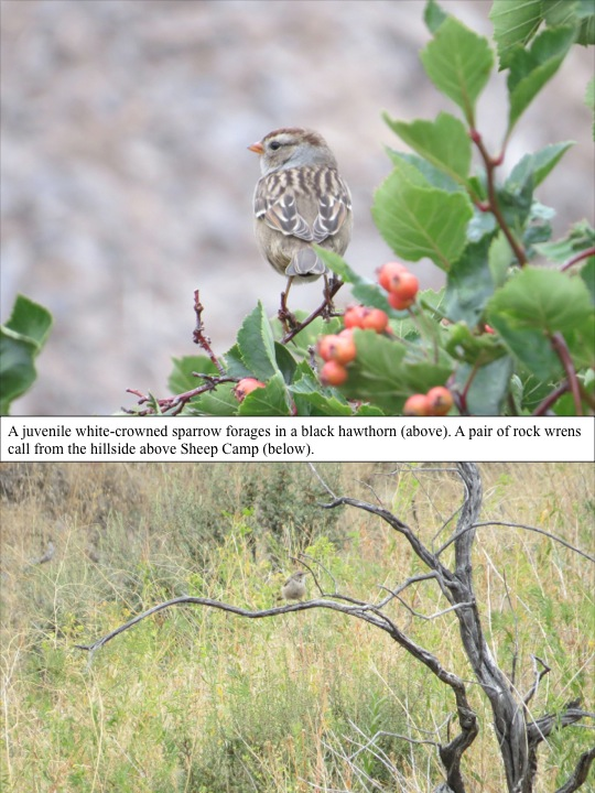 A juvenile white-crowned sparrow forages in a black hawthorn (above). A pair of rock wrens call from the hillside above Sheep Camp (below).