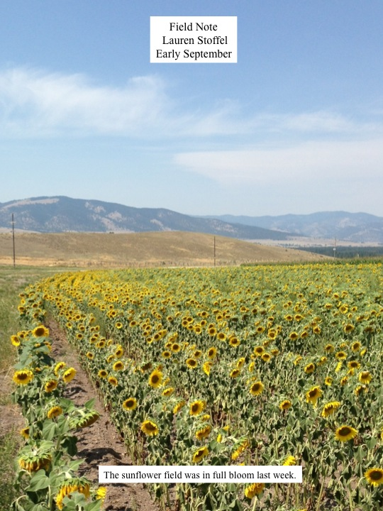 The sunflower field was in full bloom last week.
