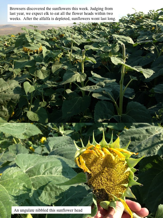 Browsers discovered the sunflowers this week. Judging from last year, we expect elk to eat all the flower heads within two weeks. After the alfalfa is depleted, sunflowers wont last long.