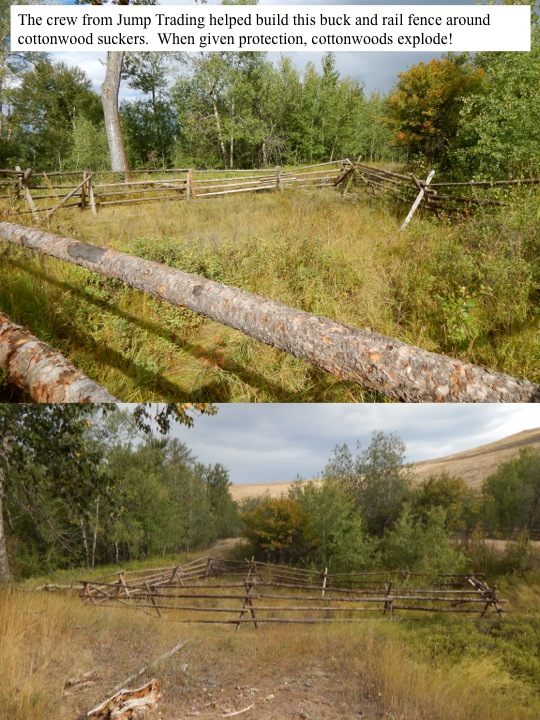 The crew from Jump Trading helped build this buck and rail fence around cottonwood suckers. When given protection, cottonwoods explode!