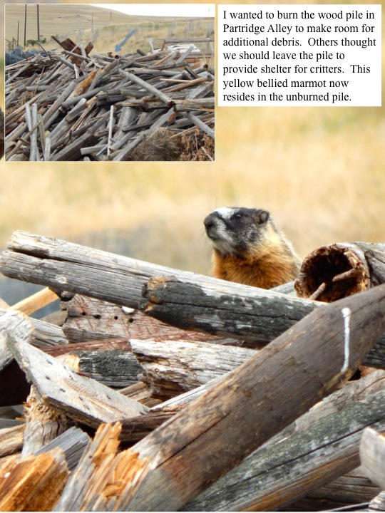 I wanted to burn the wood pile in Partridge Alley to make room for additional debris. Others thought we should leave the pile to provide shelter for critters. This yellow bellied marmot now resides in the unburned pile.
