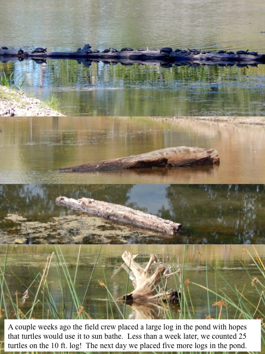 A couple weeks ago the field crew placed a large log in the pond with hopes that turtles would use it to sun bathe. Less than a week later, we counted 25 turtles on the 10 ft. log! The next day we placed five more logs in the pond.
