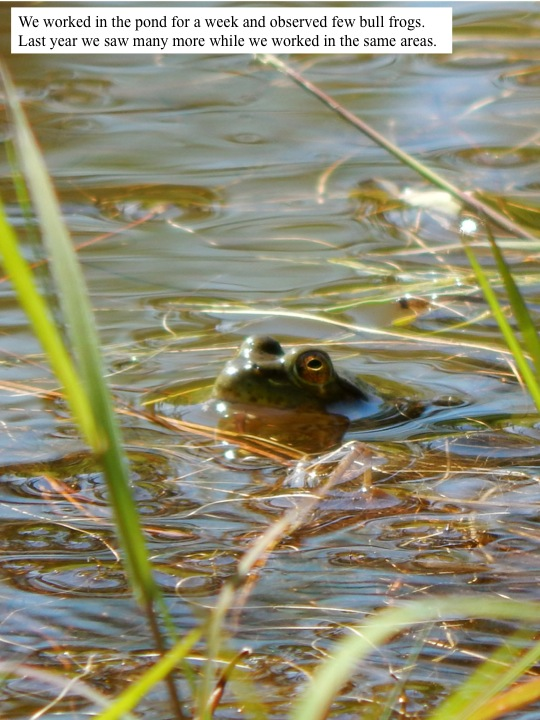 We worked in the pond for a week and observed few bull frogs. Last year we saw many more while we worked in the same areas.