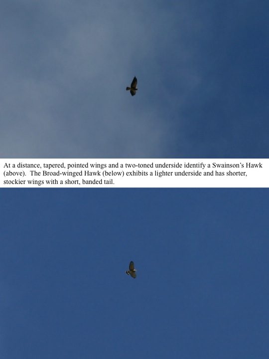 At a distance, tapered, pointed wings and a two-toned underside identify a Swainson's Hawk (above). The Broad-winged Hawk (below) exhibits a lighter underside and has shorter, stockier wings with a short, banded tail.