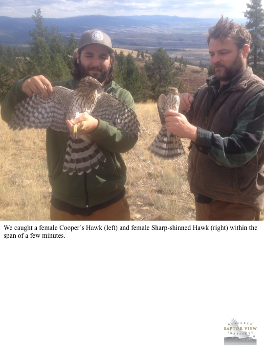 We caught a female Cooper's Hawk (left) and female Sharp-shinned Hawk (right) within the span of a few minutes.