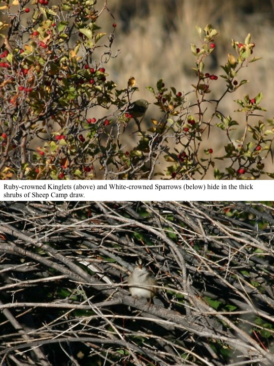 Ruby-crowned Kinglets (above) and White-crowned Sparrows (below) hide in the thick shrubs of Sheep Camp draw.
