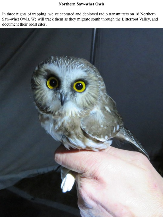 In three nights of trapping, we've captured and deployed radio transmitters on 16 Northern Saw-whet Owls. We will track them as they migrate south through the Bitterroot Valley, and document their roost sites.