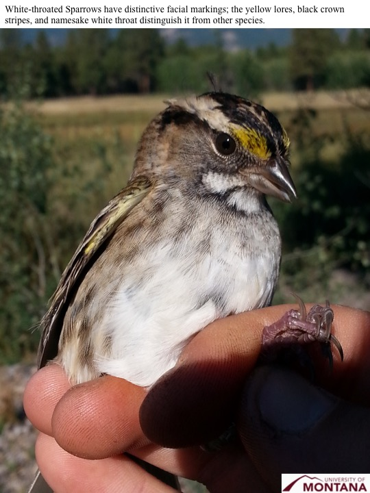 White-throated Sparrows have distinctive facial markings; the yellow lores, black crown stripes, and namesake white throat distinguish it from other species.
