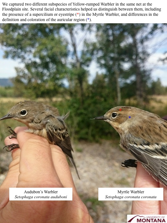 We captured two different subspecies of Yellow-rumped Warbler in the same net at the Floodplain site. Several facial characteristics helped us distinguish between them, including the presence of a supercilium or eyestripe (*) in the Myrtle Warbler, and differences in the definition and coloration of the auricular region (*).
