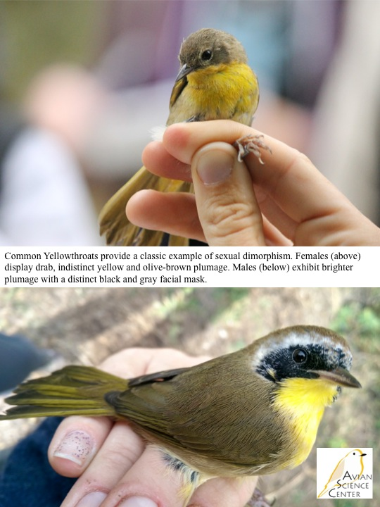 Common Yellowthroats provide a classic example of sexual dimorphism. Females (above) display drab, indistinct yellow and olive-brown plumage. Males (below) exhibit brighter plumage with a distinct black and gray facial mask.