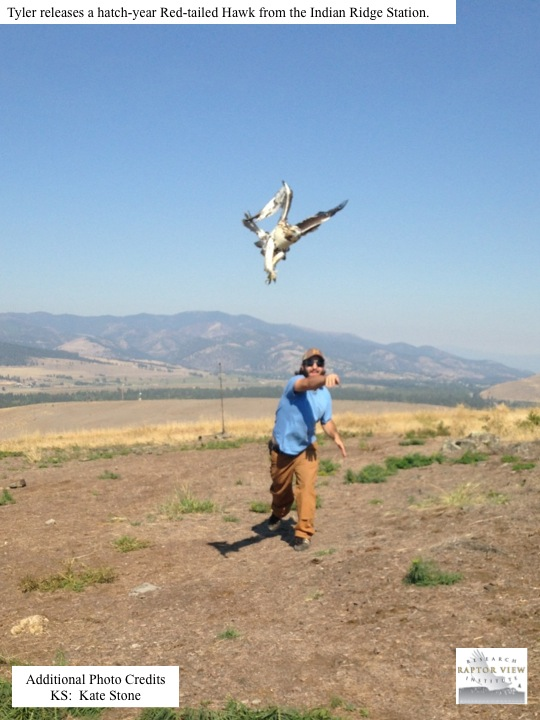 Tyler releases a hatch-year Red-tailed Hawk from the Indian Ridge Station.
