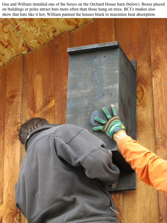 Gus and William installed one of the boxes on the Orchard House barn (below). Boxes placed on buildings or poles attract bats more often than those hung on trees. BCI's studies also show that bats like it hot; William painted the houses black to maximize heat absorption.