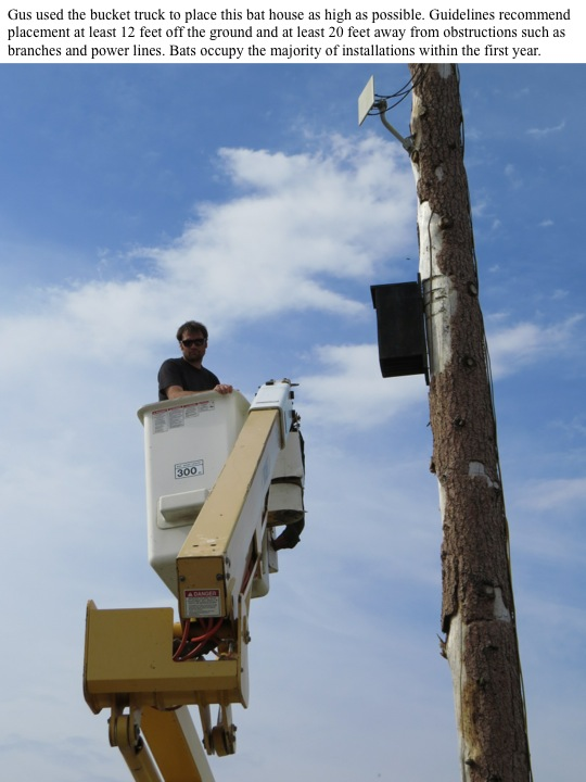Gus used the bucket truck to place this bat house as high as possible. Guidelines recommend placement at least 12 feet off the ground and at least 20 feet away from obstructions such as branches and power lines. Bats occupy the majority of installations within the first year.