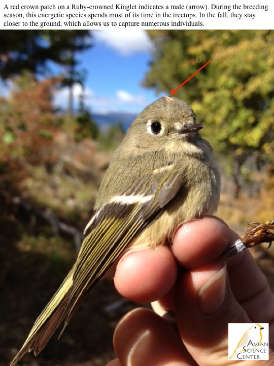 A red crown patch on a Ruby-crowned Kinglet indicates a male (arrow). During the breeding season, this energetic species spends most of its time in the treetops. In the fall, they stay closer to the ground, which allows us to capture numerous individuals.